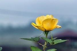 rose-1150929__180.jpg