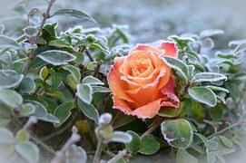rose-490947__180.jpg