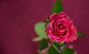rose-693152__180.jpg