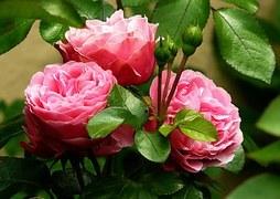 roses-279583__180.jpg